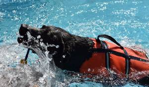 Dog in pool with harness as part of physical therapy.