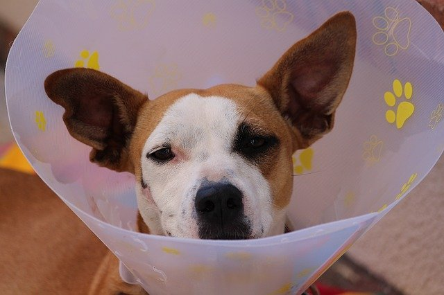 Dog wearing a cone as part of his welfare