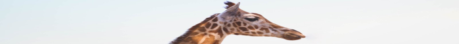 Giraffe head panoramic
