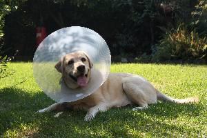 Labrador in cone