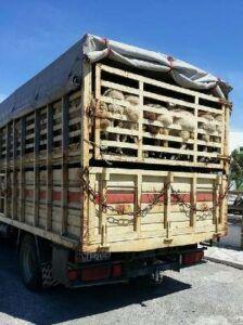 Poor welfare of animals in transport
