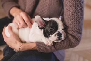 Puppy Frenchie