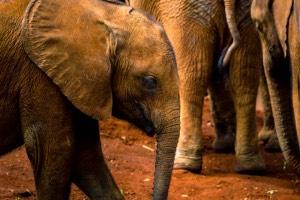 baby elephant sheldrick