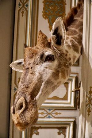 Animals and travel going to Giraffe Manor
