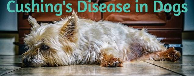 Cushing's Disease in Dogs Yorkshire Terrier
