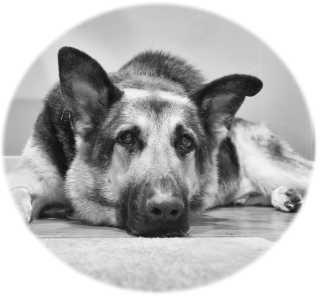 Germany Shepherd Dog