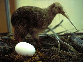 Kiwi Bird Egg