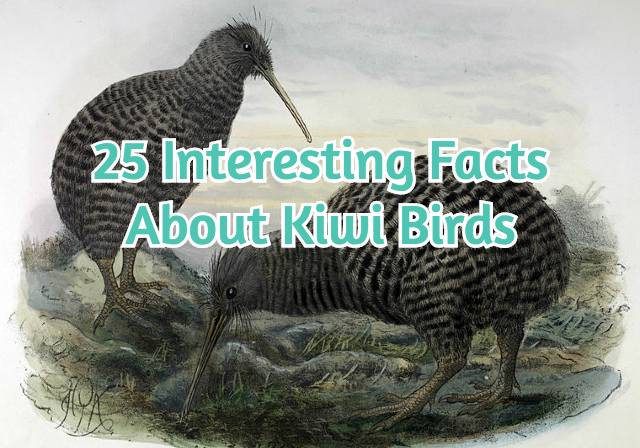 25 Interesting Facts About Kiwi Birds