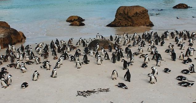 Marine Big 5 - african penguin