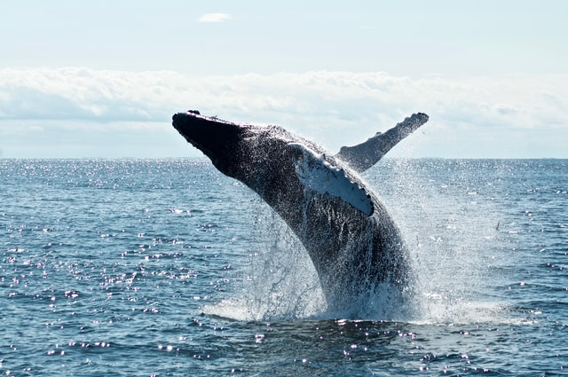 Marine Big 5 - the southern right whale