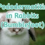 Pododermatitis in Rabbits (Bumblefoot)