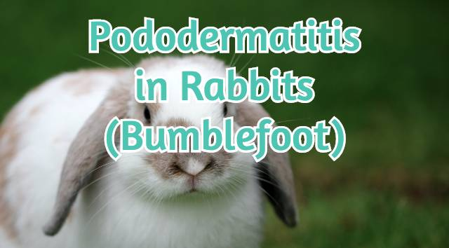 pododermatitis in rabbits bumblefoot