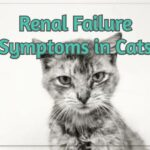 Renal Failure Symptoms in Cats - A Quick Guide