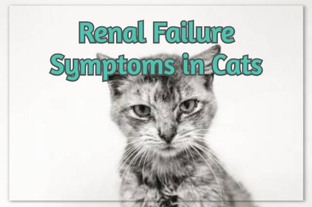 Renal Failure Symptoms in Cats