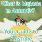 What is Myiasis in Animals? Your Guide to Flystrike