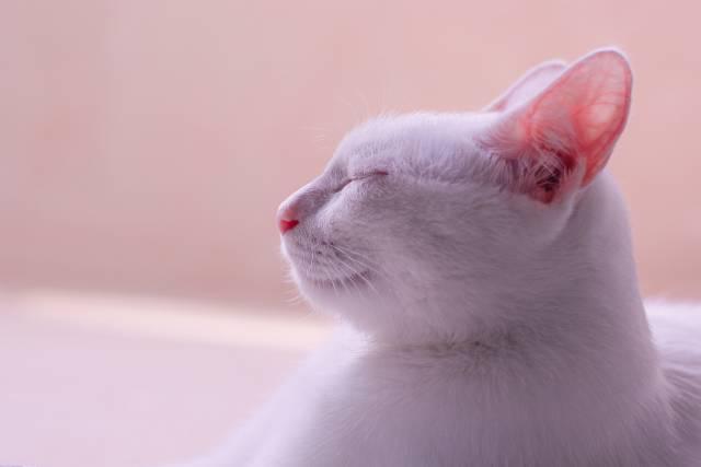 cool-albino-animals-albino-cat