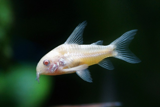cool-albino-animals-albino-fish