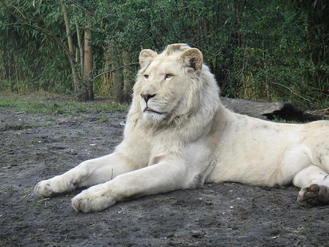 cool-albino-animals-albino-lion