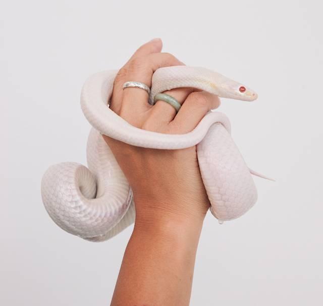 cool-albino-animals-albino-snake