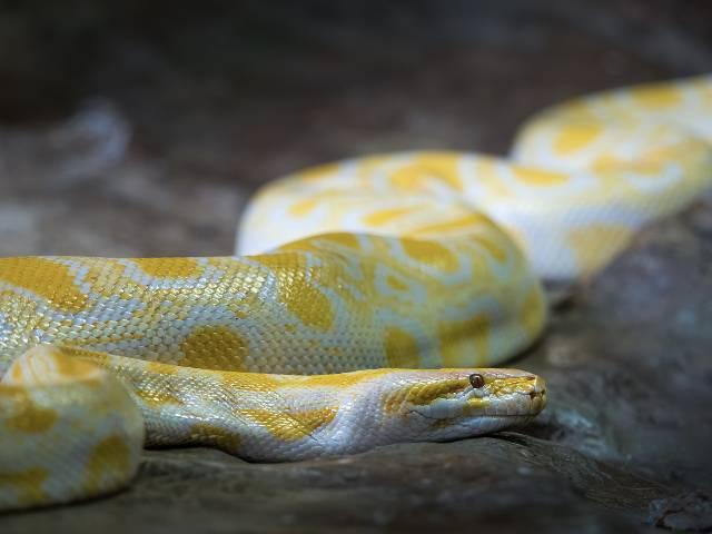 cool-albino-animals-albino-snake2