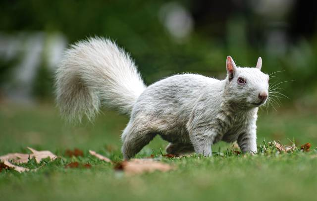 cool-albino-animals-albino-squirrel