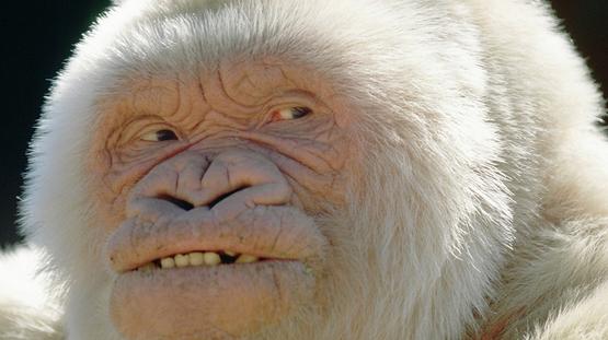 45 Cool Albino Animals - gorilla snowflake
